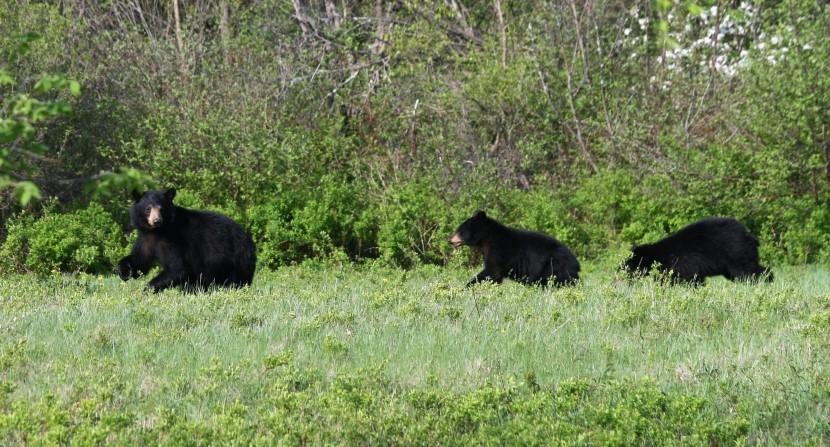 Black bears in field