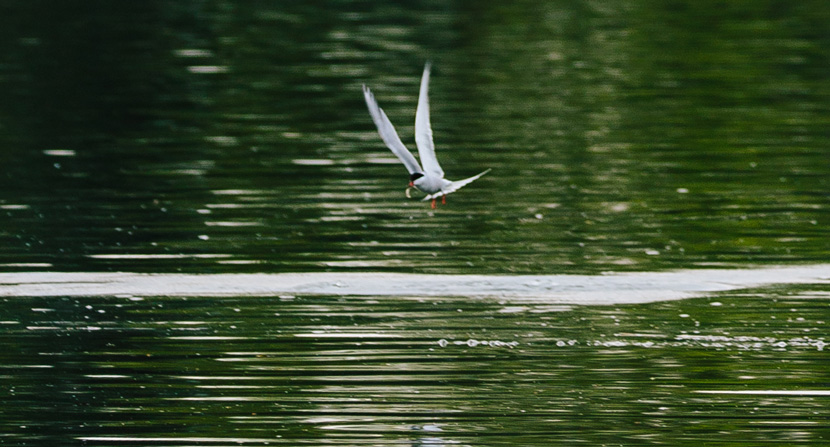 Tern fishing at Creek Farm. Photo by Emily Lord