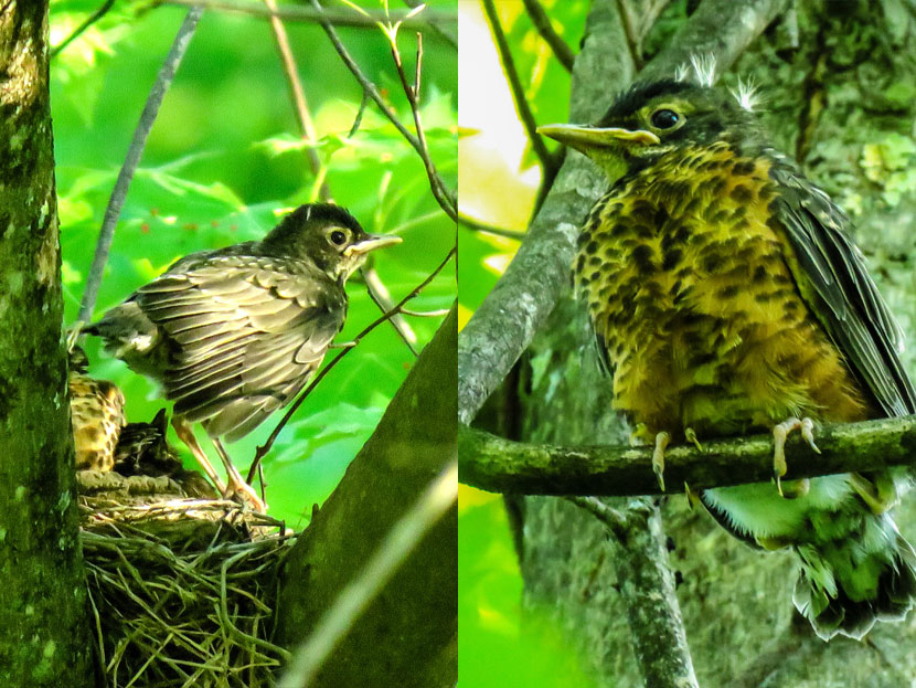 A young robin
