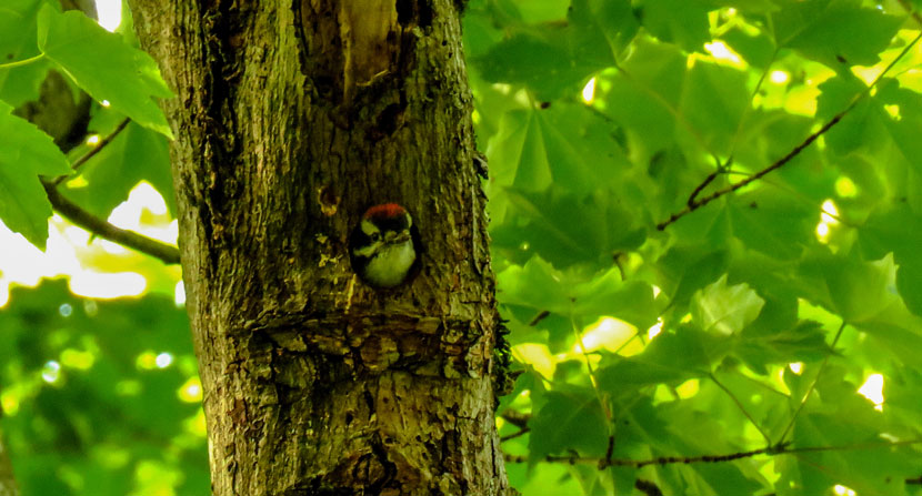 Downy woodpecker poking its head out of a small tree cavity