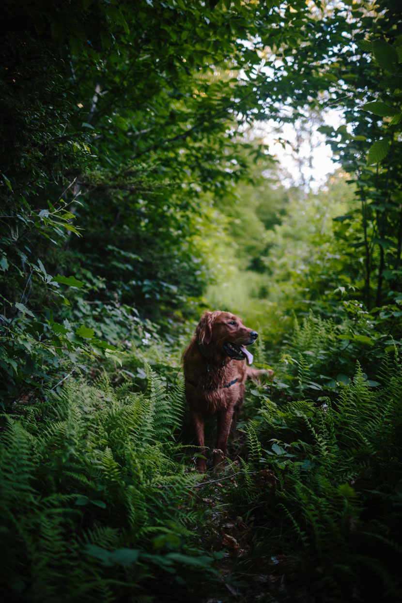A golden retriever stands in a fern-lined trail at Cockermouth Forest in Groton, NH