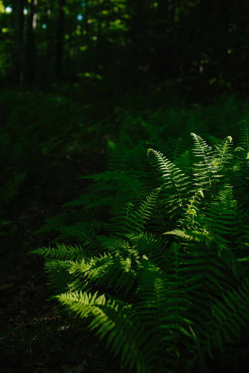 Sunlight in the forest highlights fern fronds on the side of a trail.