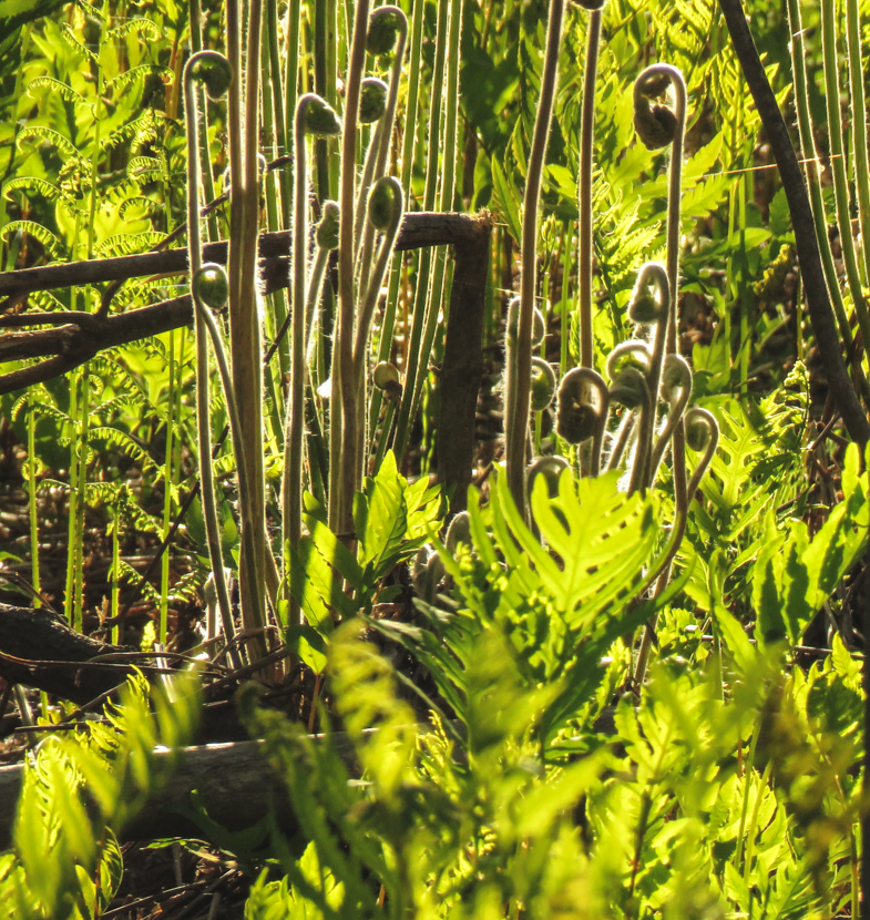 Unfurlig fiddleheads shine in the early morning light in a floodplain forest