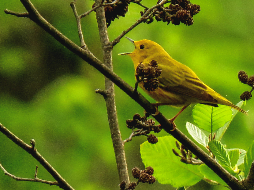 Yellow song bird sings its call in a floodplain forest