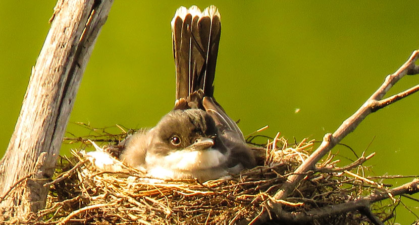 Kingbird sitting on its nest over the water