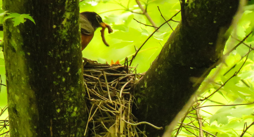 Robin feeding its babies during spring nesting season