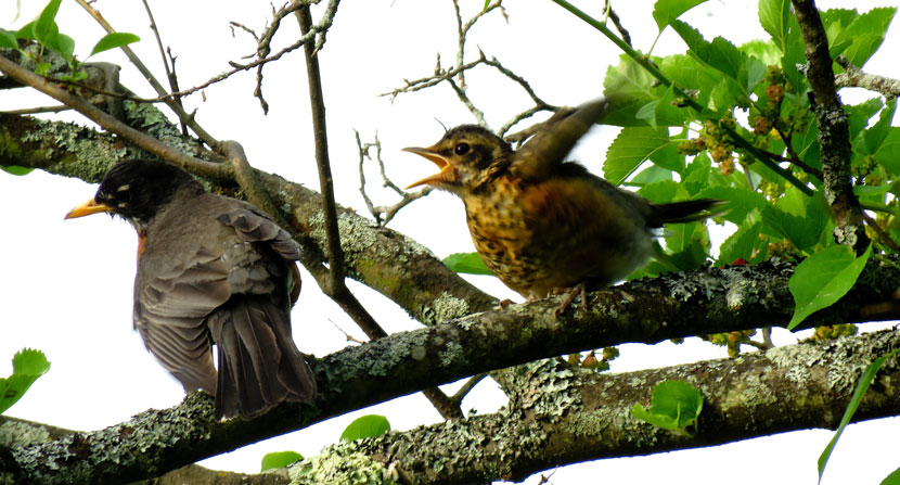 After robins fledge the nest they still rely on their parents for food