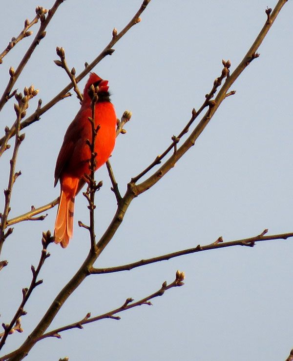 A male northern cardinal sings in the early morning