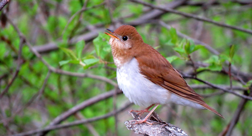 Veery singing during early spring