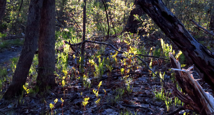 Ferns emerge along the Les Clark Nature Trail at the floodplain