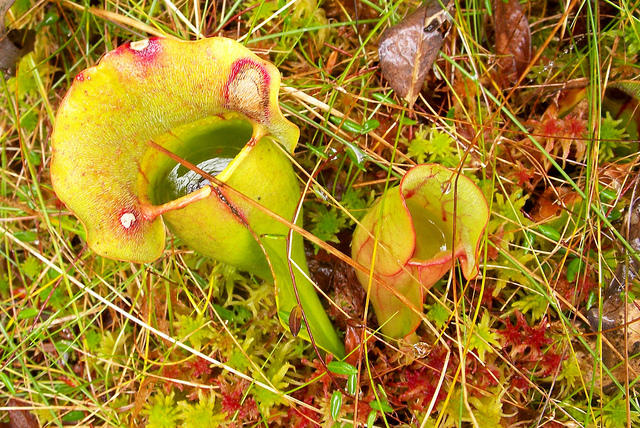 A pitcher plant in the Philbrook-Cricenti Bog in New London