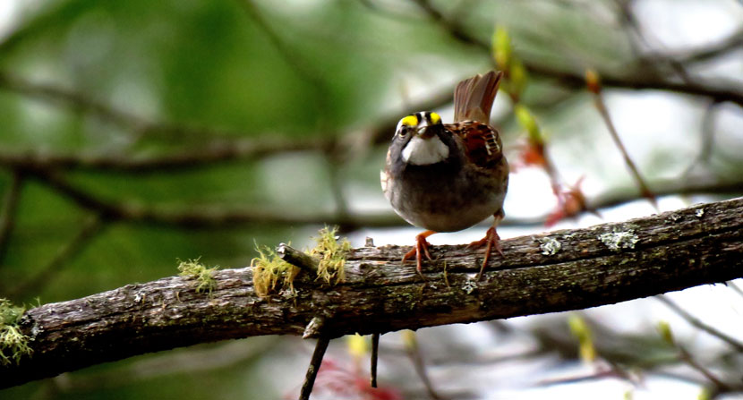 White throated sparrow perched on a branch