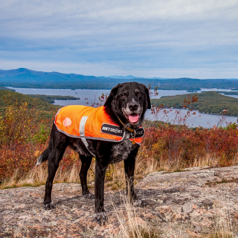 Dog wearing bright colors for hunting season