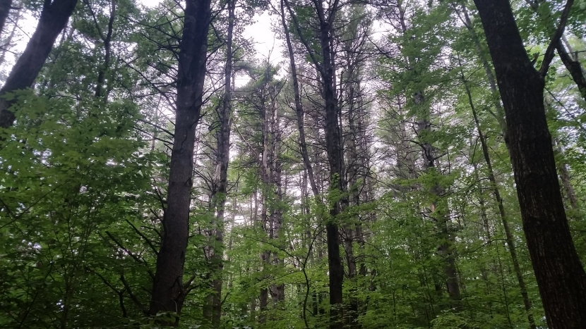 Dense white pine trees, Whittemore Reservation in Lyndeborough
