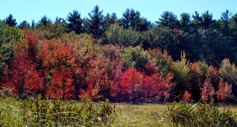 Bright red swamp maples signal autumn at Turkey Pond in Concord New Hampshire