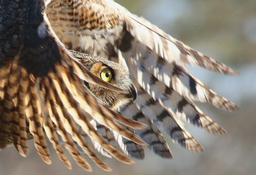 Side profile of a great horned owl in flight