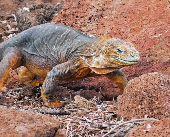 Galapagos Land Iguana by Jeff Sluder