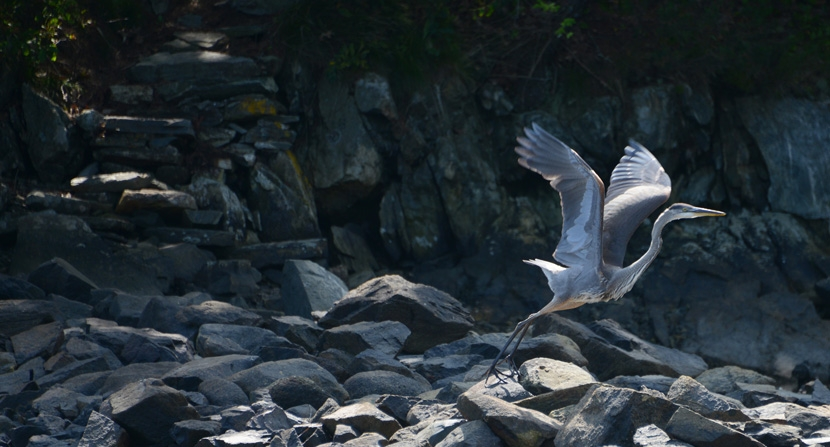 Great Blue Heron takes off in flight