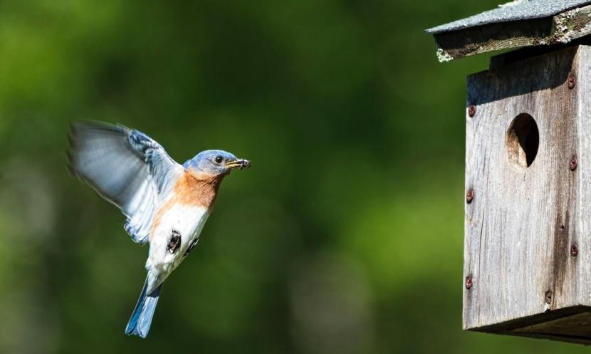 Bluebird at nest box photo by Garrett Evans