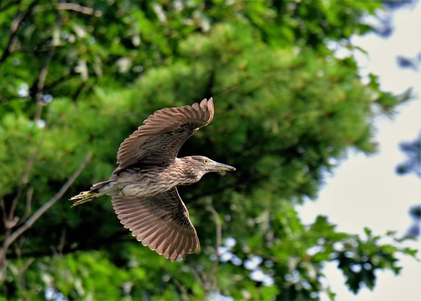 A night heron flies through the air.