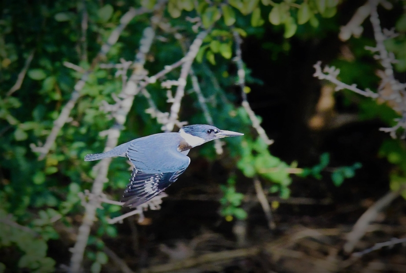 A Belted Kingfisher is blue and white and captured in fight.