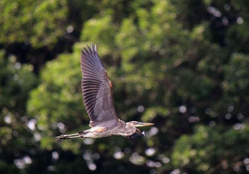 A blue heron has wings outstretched in flight.