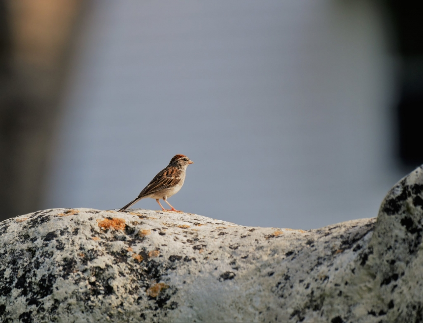 A Chipping Sparrow on a rock.