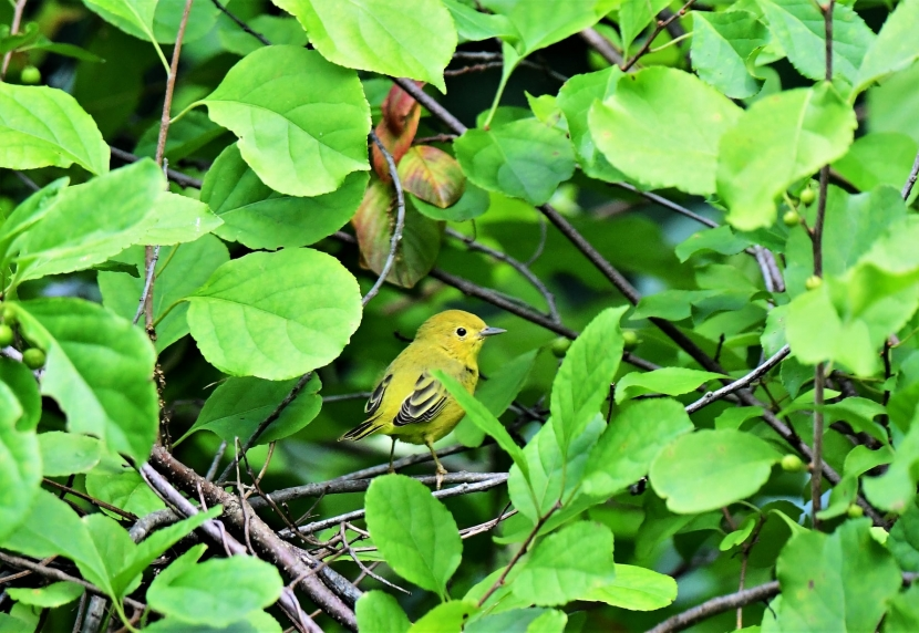 A Yellow Warbler is seen on a branch in between green leaves.