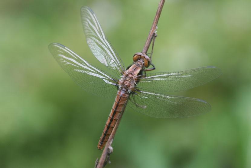 Dragonfly or odonata