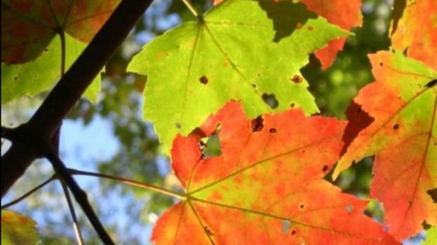 Looking up at blue sky through fall maple leaves