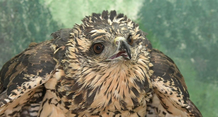 Great black hawk recently found in a park in Portland, Maine was suffering from frostbite