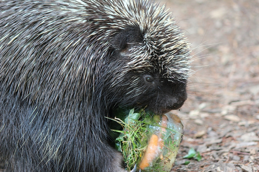 Henry the Porcupine, Animal Ambassador with the Center for Wildlife