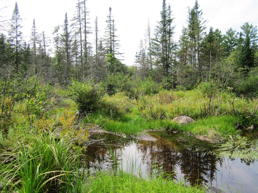 Wetlands and mixed conifer forest near the White Mountain National Forest