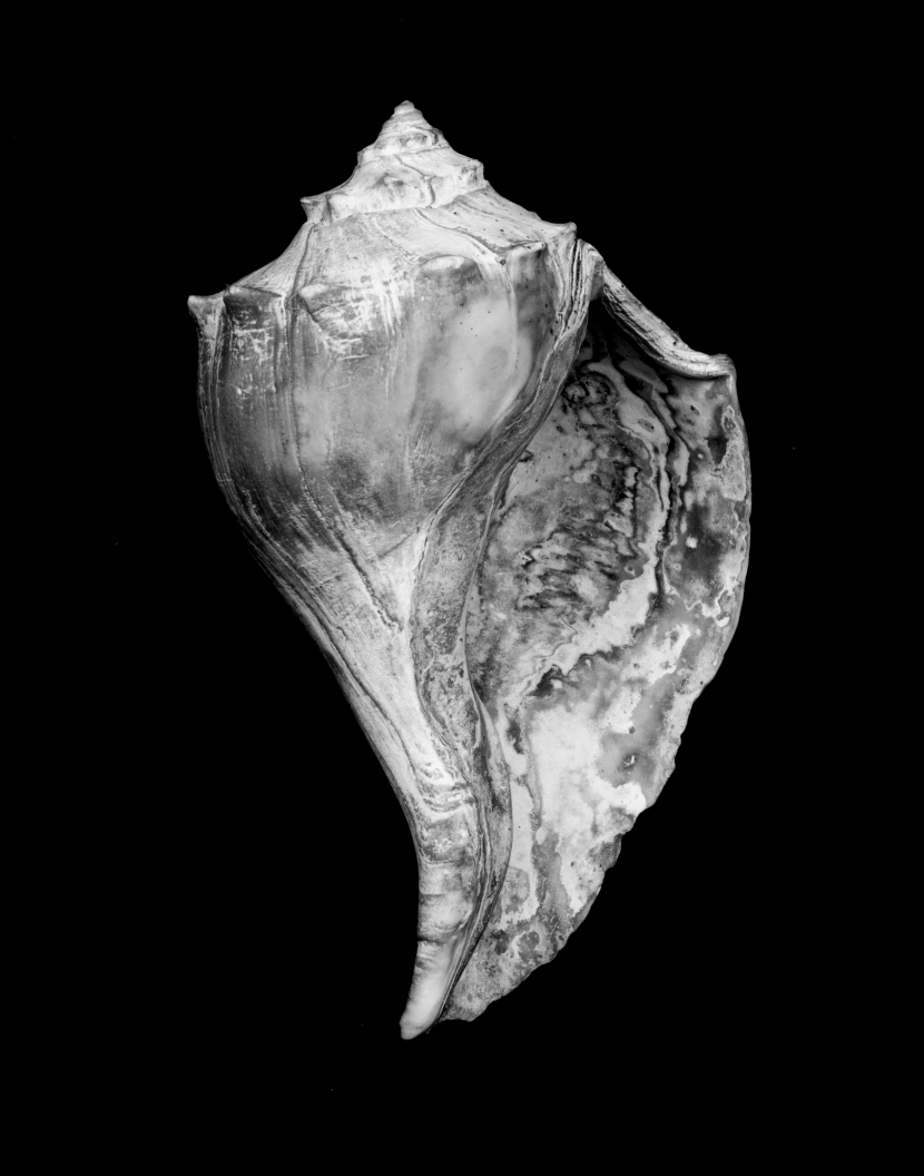 Black and white image of a shell by Jack Ahearn