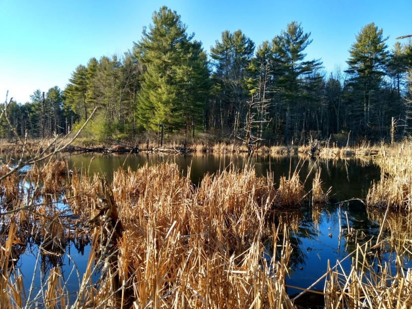 A beaver pond at Clay Brook forest.