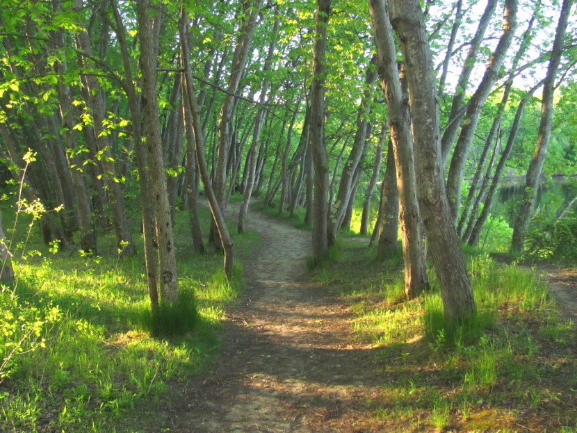 A path winding through the Merrimack River Outdoor Education & Conservation Area in Concord with morning light streaming through the silver maples.