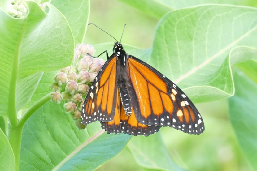 Monarch butterfly on milkweed by Jackie Sawyer