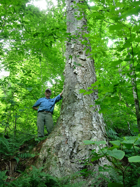 A hiker stands next to an old growth yellow birch in New Hampshire