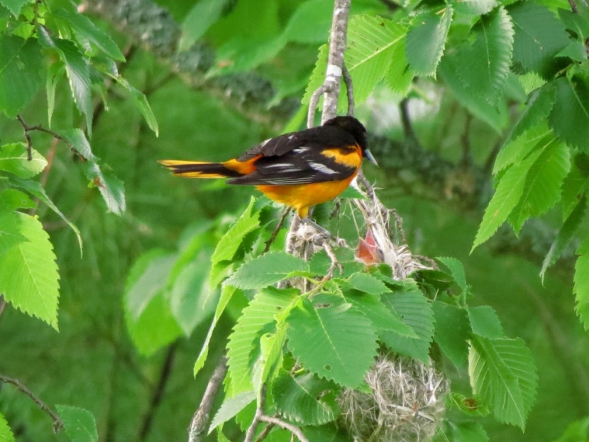 An oriole feeds a chick in a nest.