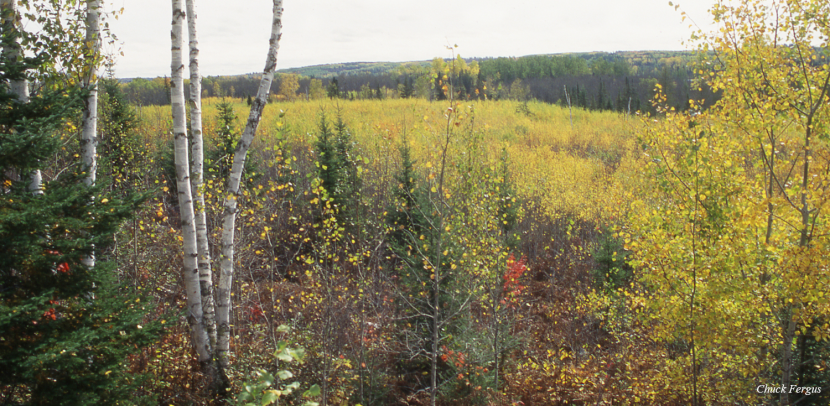 Shrubland habitat with white birch in foreground