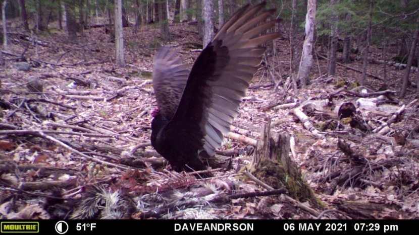 Game camera photo of turkey vulture on ground with wings spread