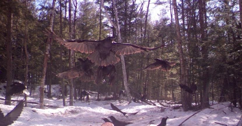 A raven flies above the snow with other birds clammoring.