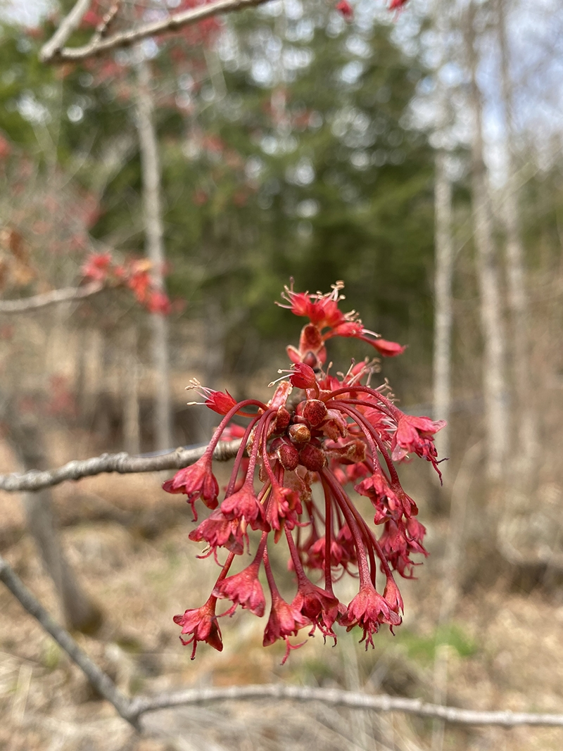 A closeup of male red maple flowers under female flowers.