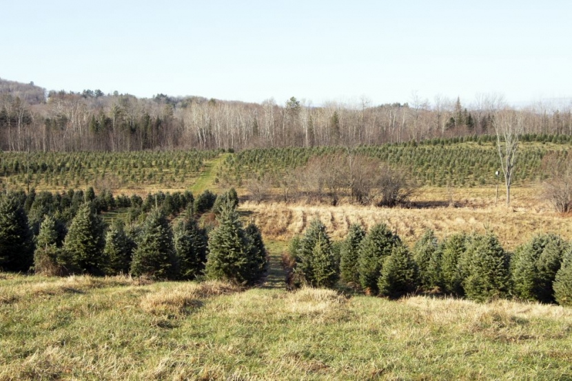 Rows of green fir trees grow in fields at The Rocks