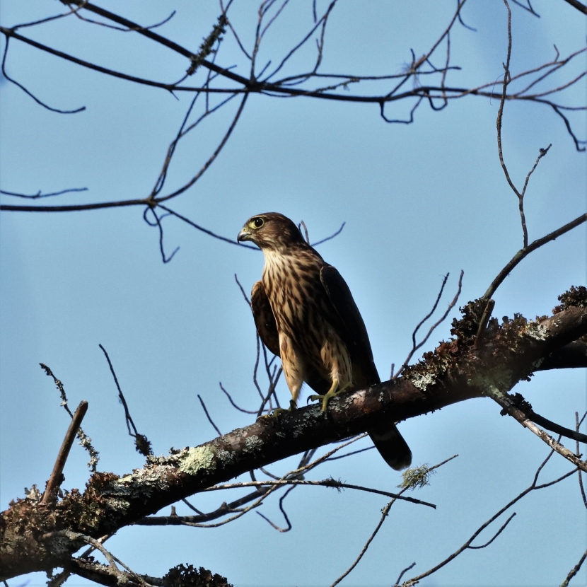 A merlin sits on a tree branch.