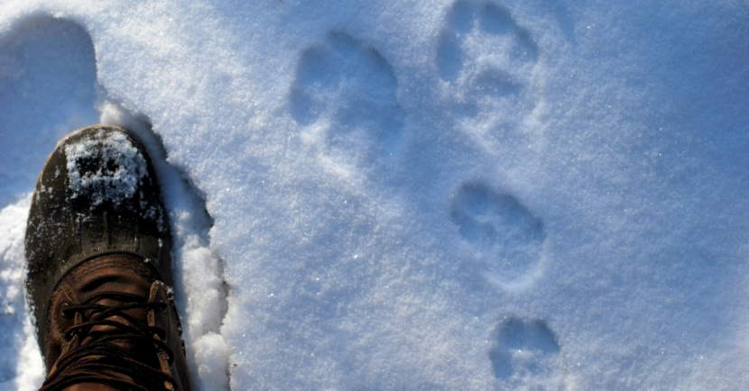 Tracking wildlife in the snow