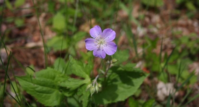 Light purple wildflower in bright green field of grass.