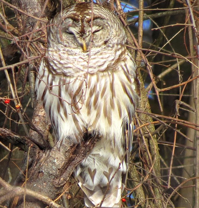 Barred owl by Ellen Kenny