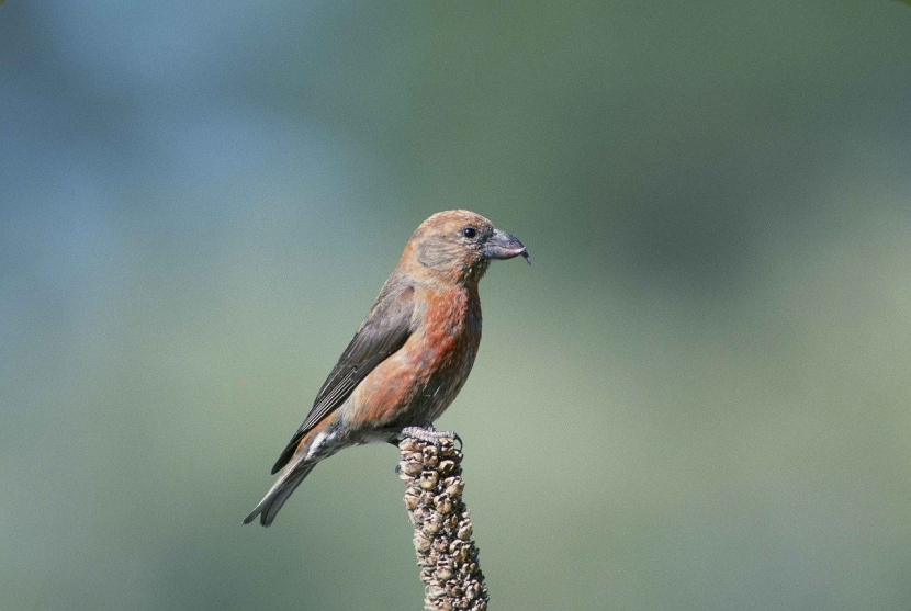 A red crossbill sits on a branch.
