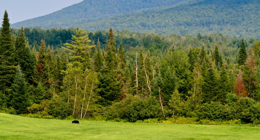 Black bear in northern New Hampshire by Diana LeRoi-Schmidt via Flickr/Creative Commons
